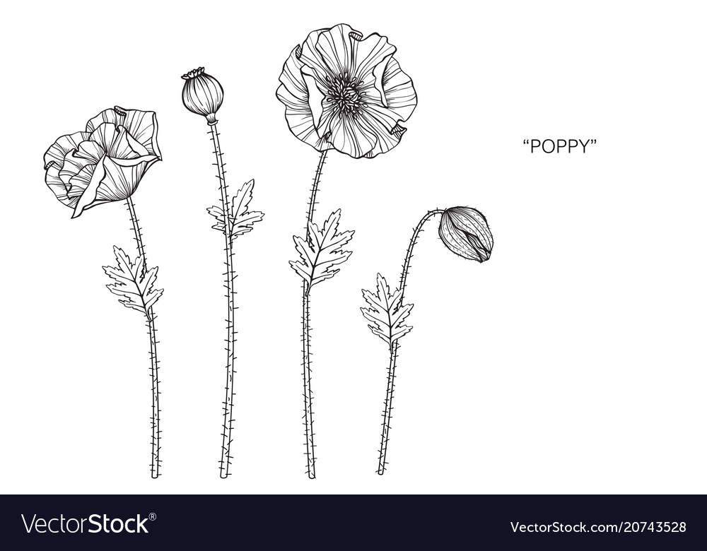 Poppy flower drawing royalty free vector image poppy flower drawing vector image mightylinksfo