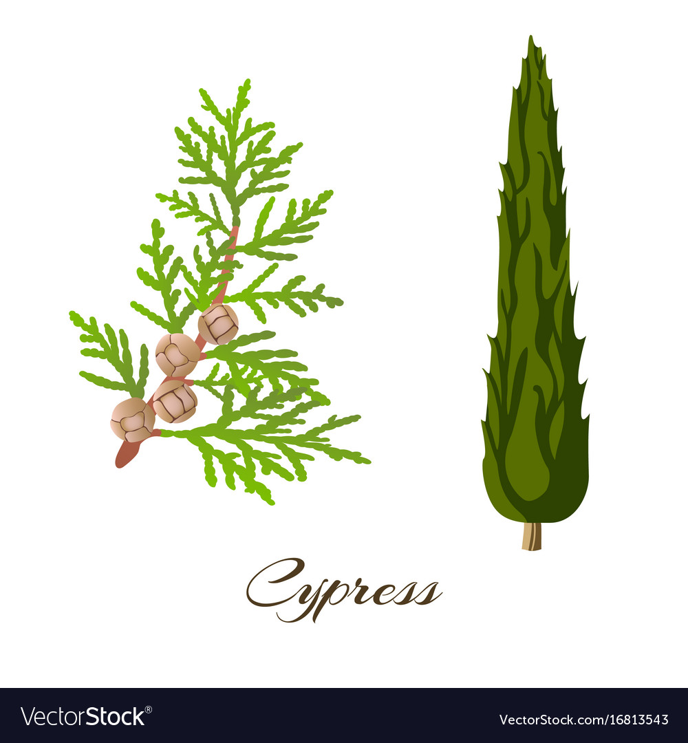 Cypress branch and tree cupressus sempervirens