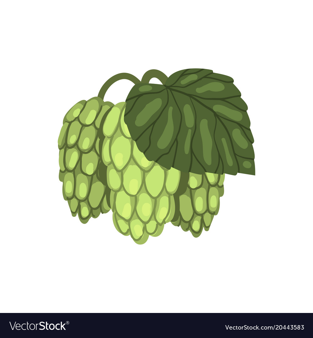 Phytotherapy: use of hop cones