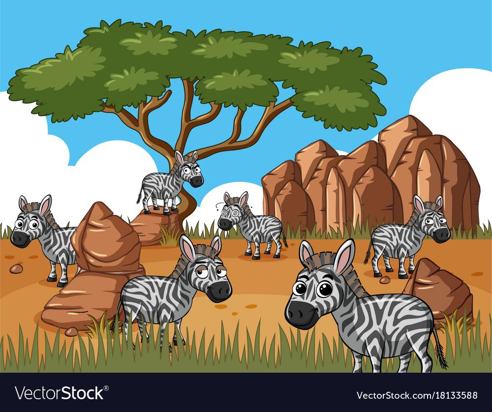 Zebras in savanna field vector image