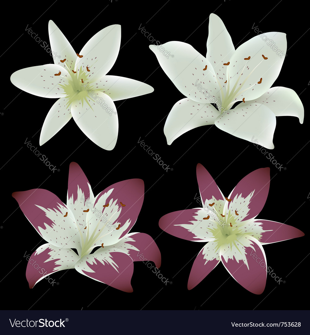 Lily flowers isolated on black background vector image