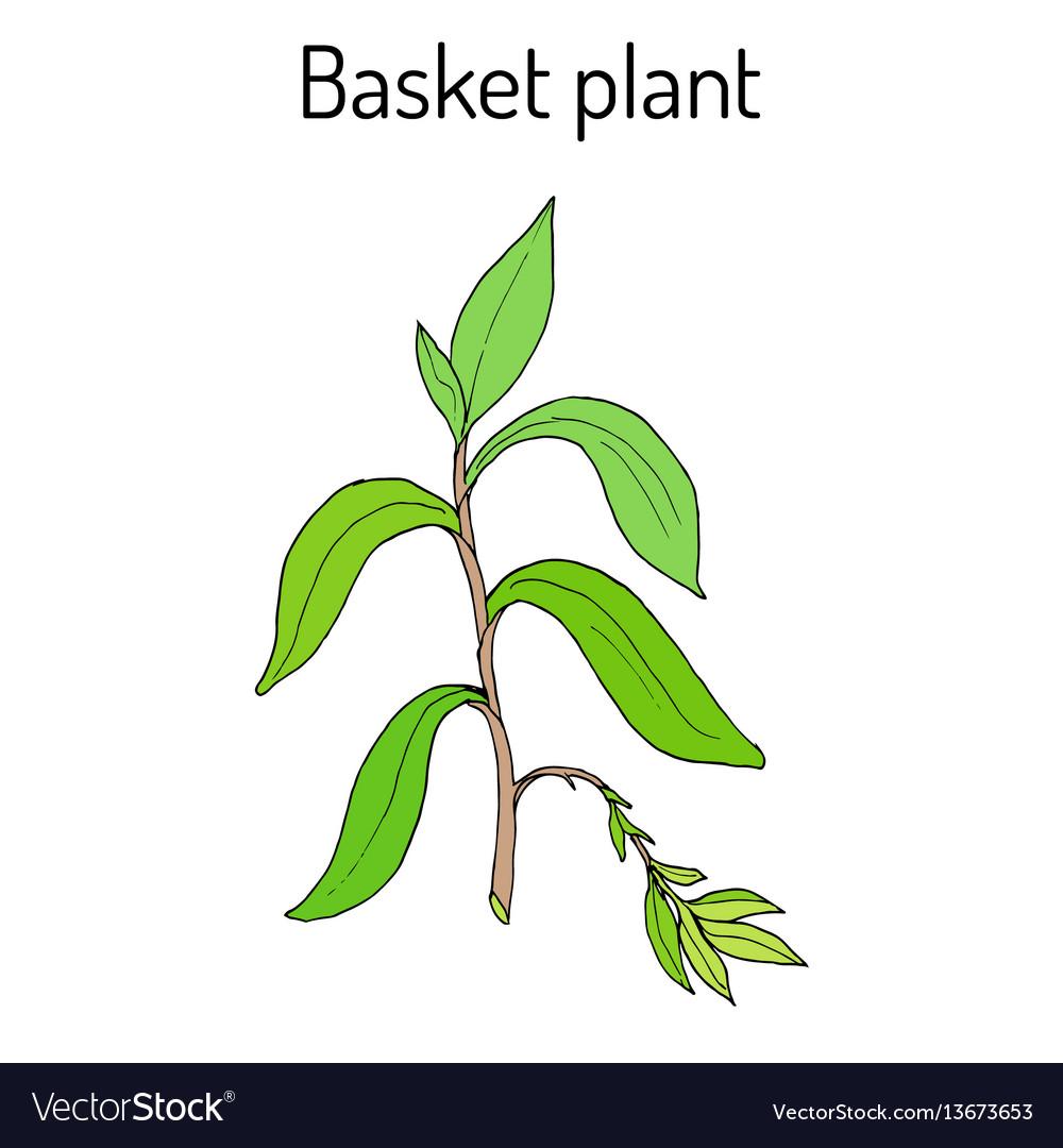 Basket plant callisia fragrans medicinal plant vector image
