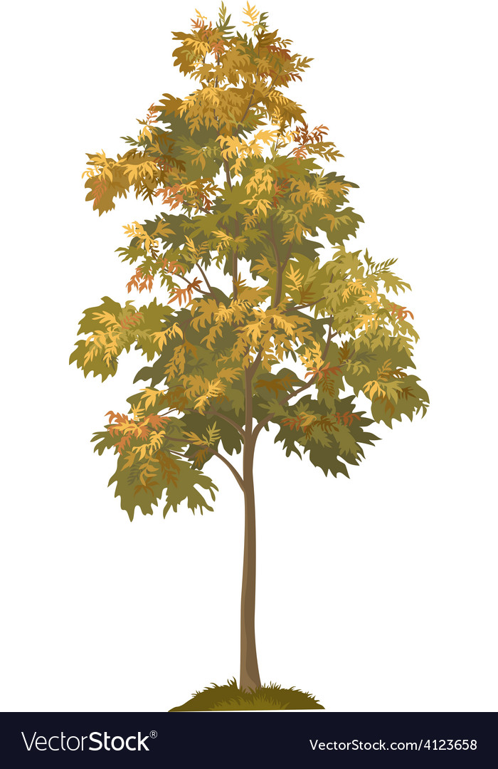 Acacia autumnal tree and grass vector image