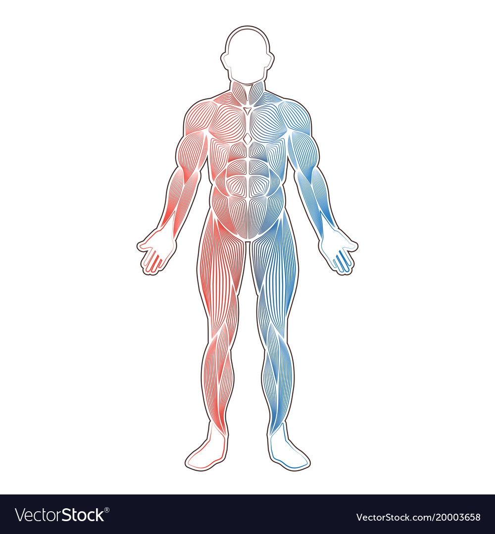 Human Muscles Two Color Royalty Free Vector Image