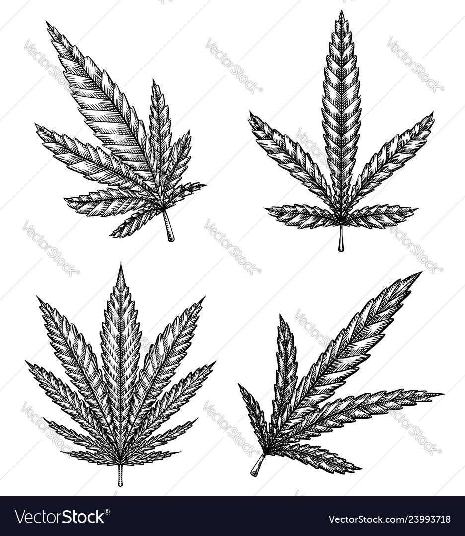 Set of different leaves of marijuana with hatching