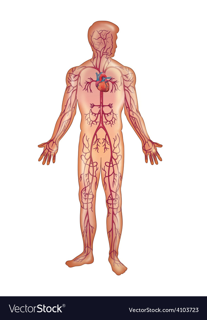 Arteries in the human body Royalty Free Vector Image