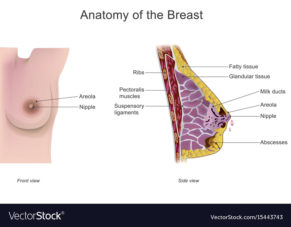 Anatomy of the breast Royalty Free Vector Image