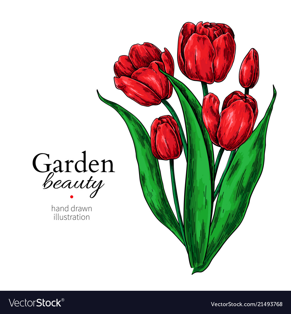 Tulip flower and leaves bouquet drawing vector image