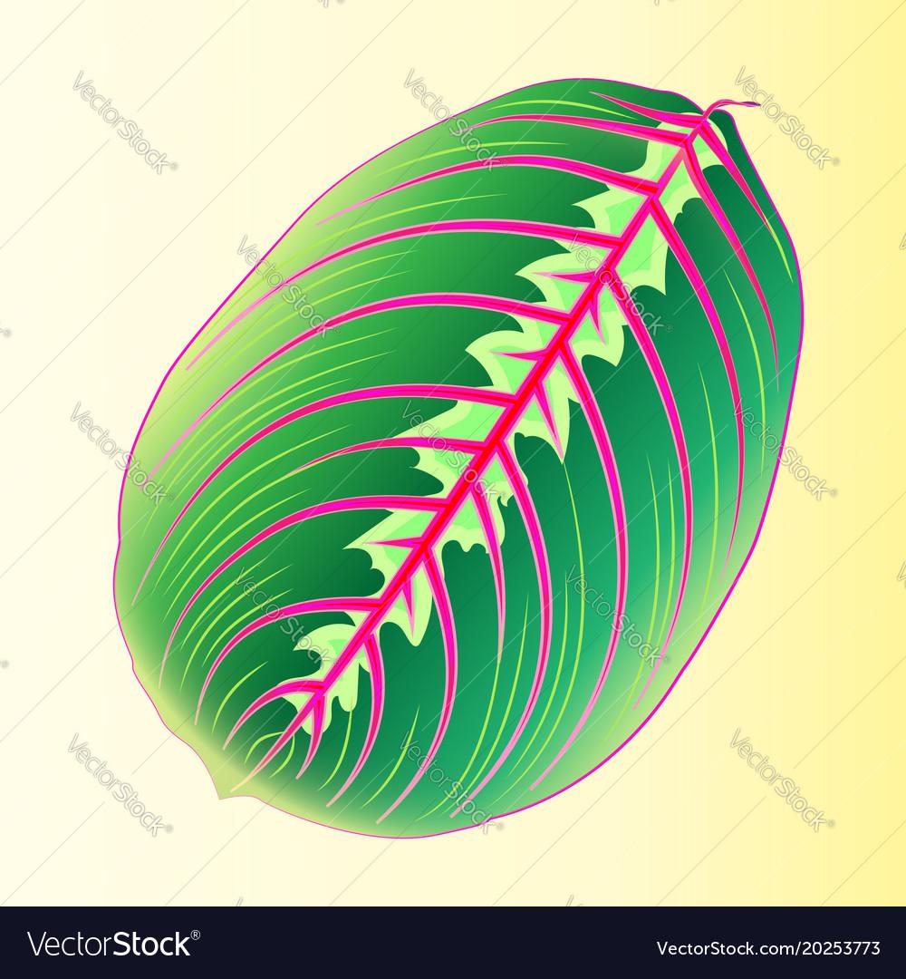 maranta leaf template tropical leaf for design vector image