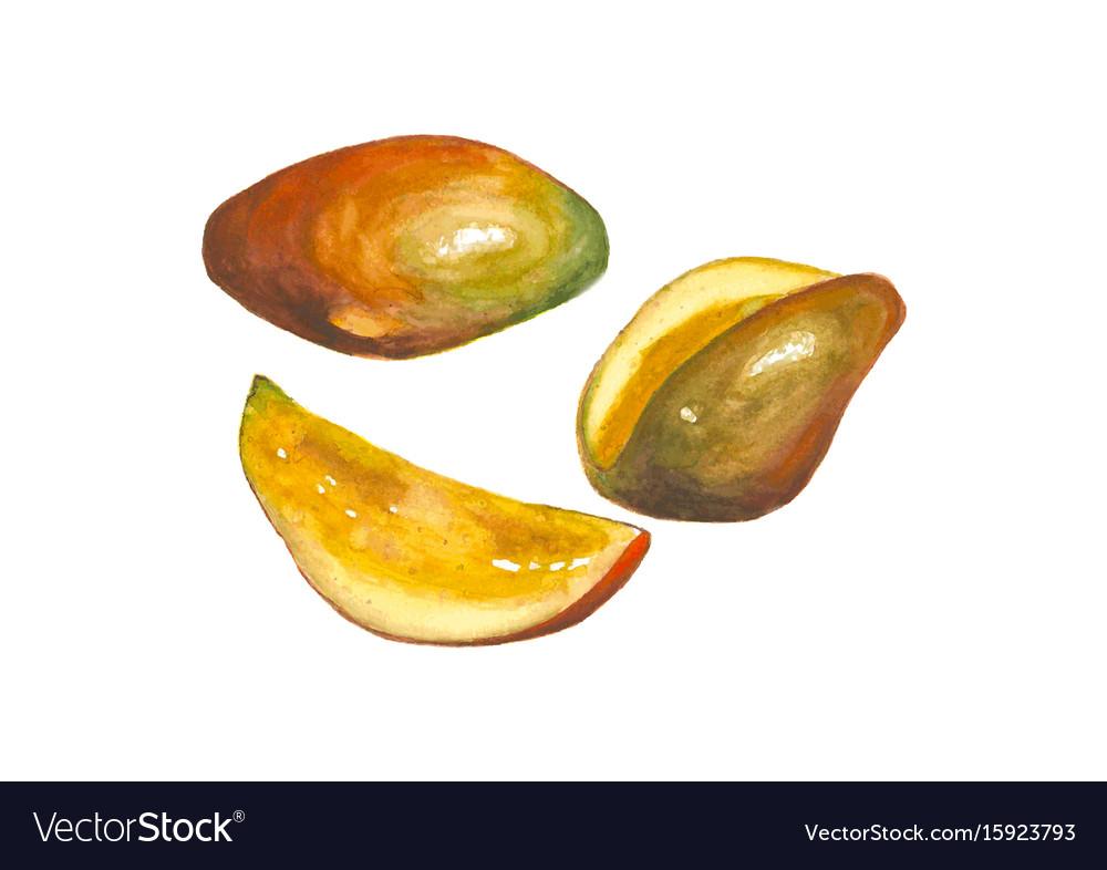 Watercolor mango fruit isolated on white