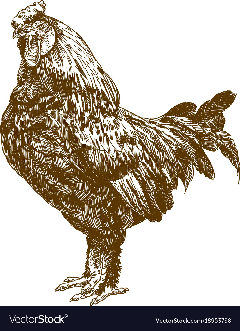 Engraving antique of rooster vector image
