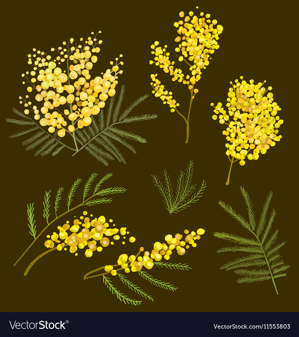 Mimosa hand drawn vector image