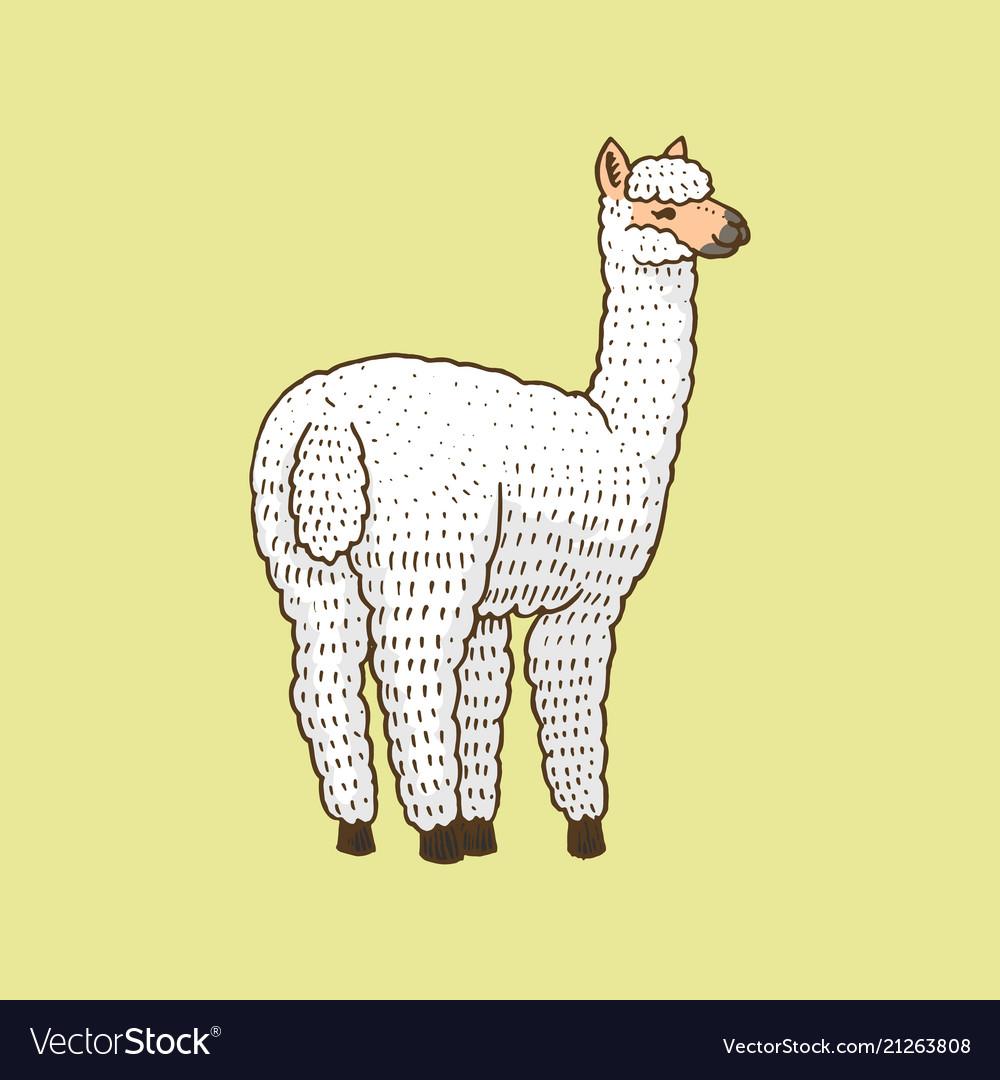 Cute alpaca llamas or wild guanaco on the