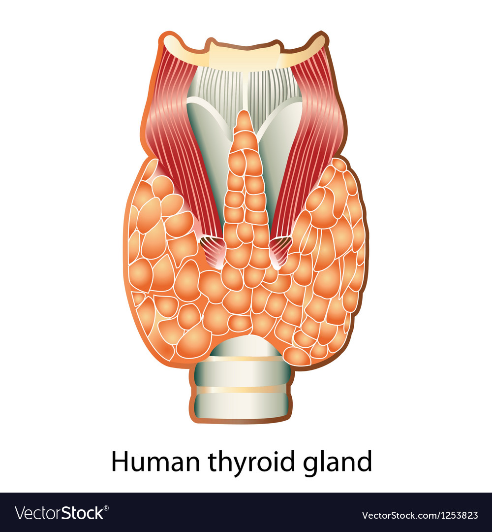Human Thyroid Gland Royalty Free Vector Image Vectorstock