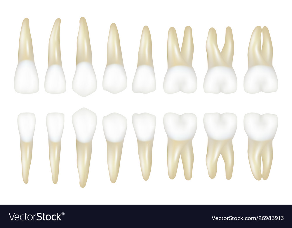 Type tooth stomatology medical dentist realistic