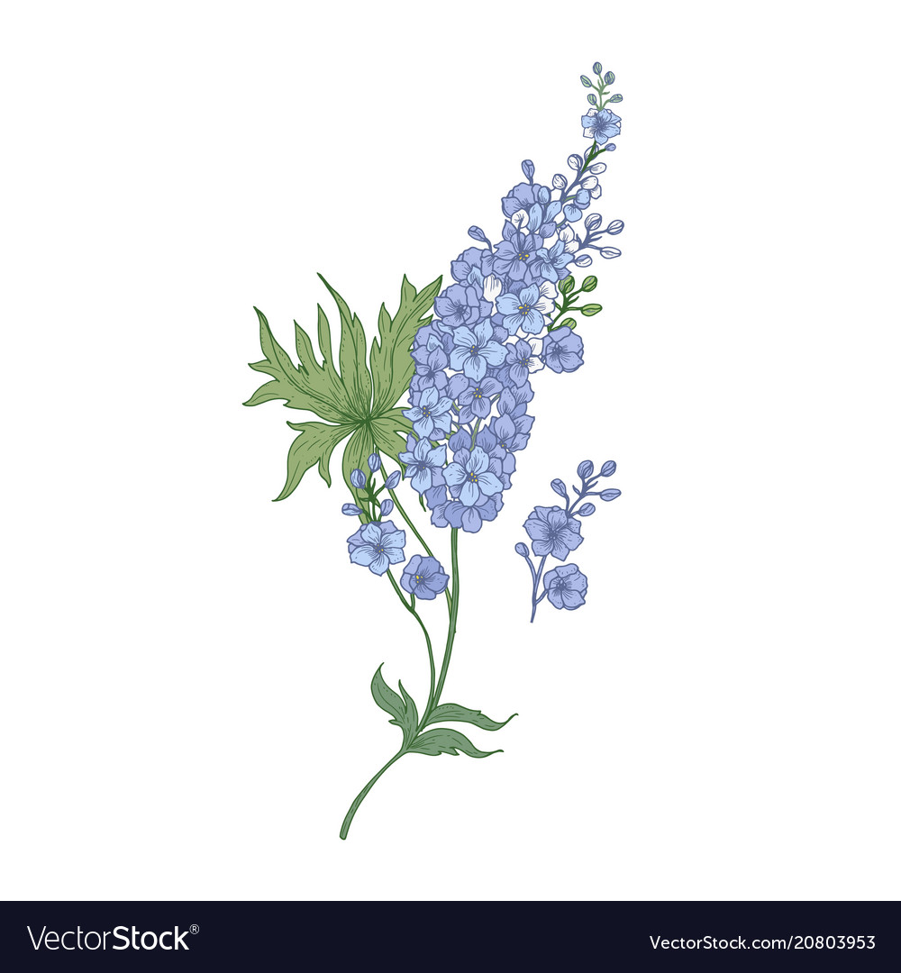 Delphinium or larkspur purple blooming flowers
