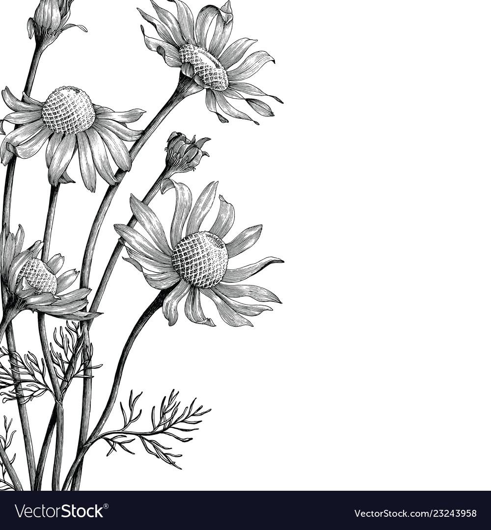 Chamomile flowers hand draw vintage clip art
