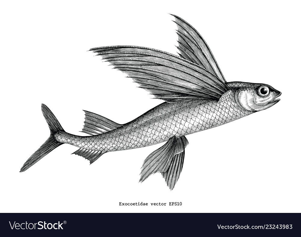 Exocoetidae or flying fish hand drawing vintage vector image