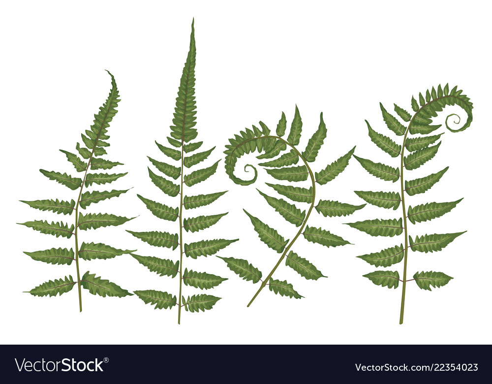 Set of silhouettes of a green forest fern