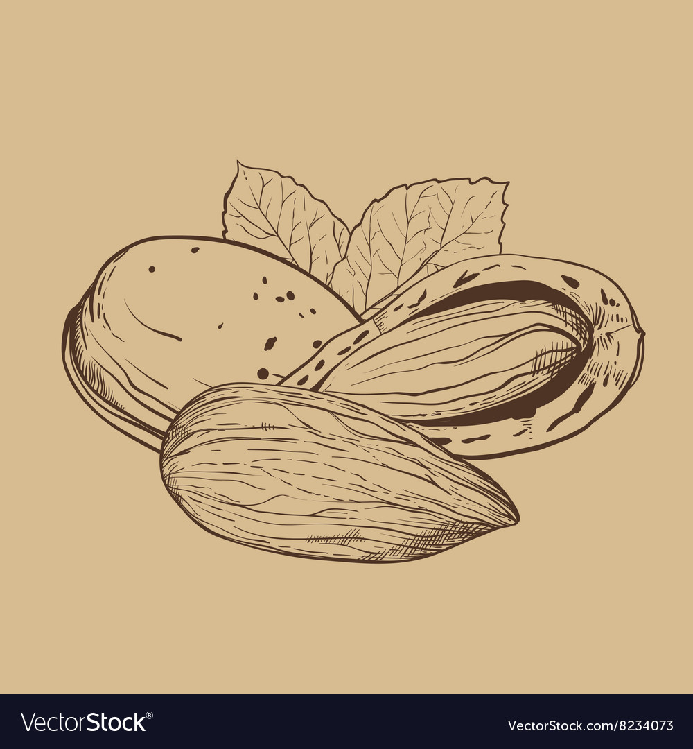 Almond isolated on brown background vector image