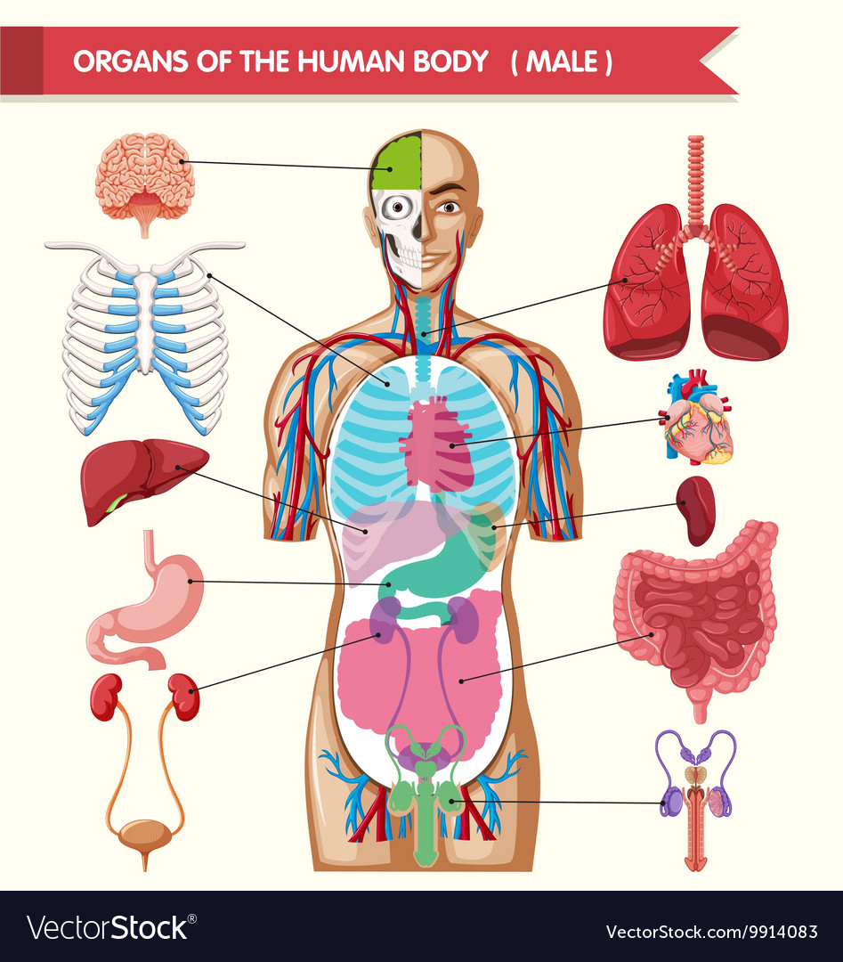 Chart Showing Organs Of Human Body Royalty Free Vector Image