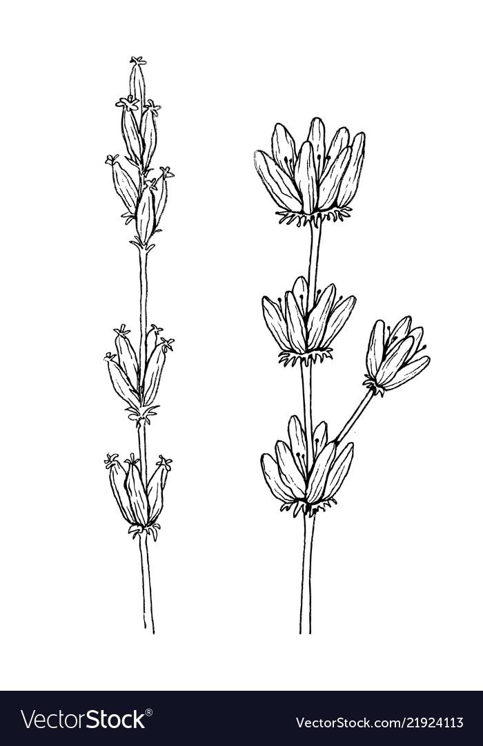 Herbal and wild plant lavender vintage botanical