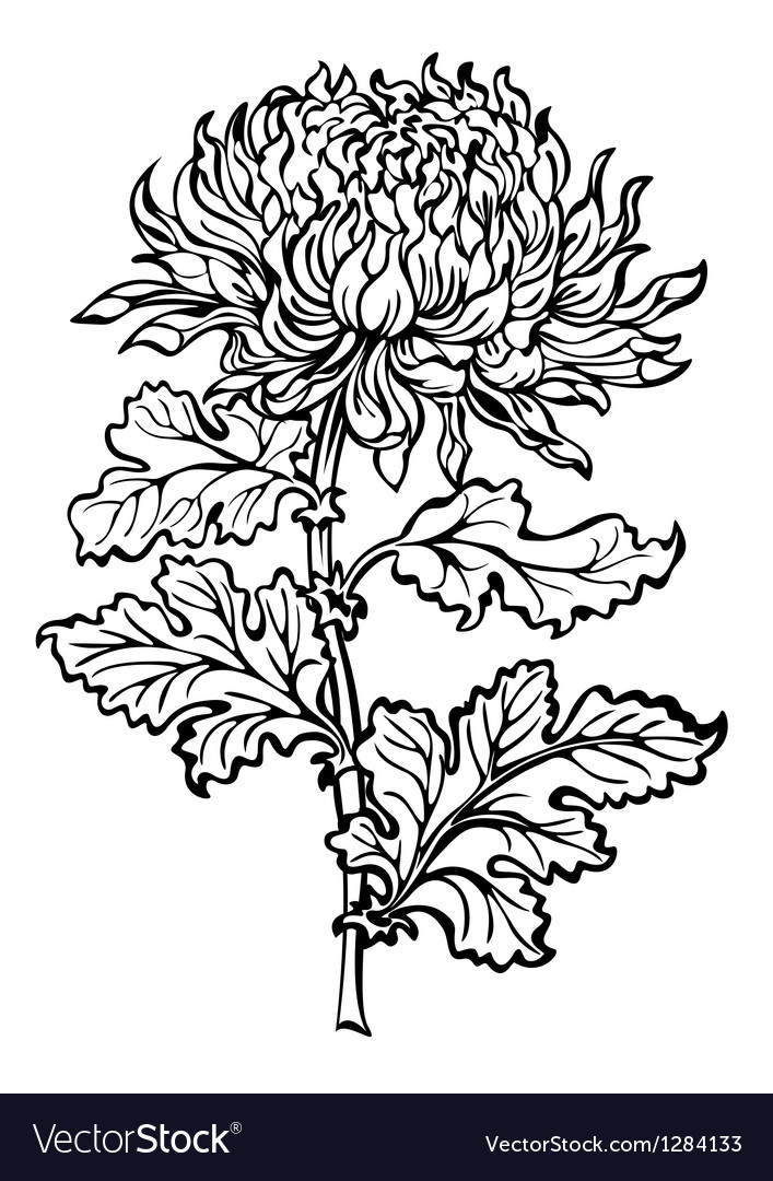 Chrysanthemum flower vector image