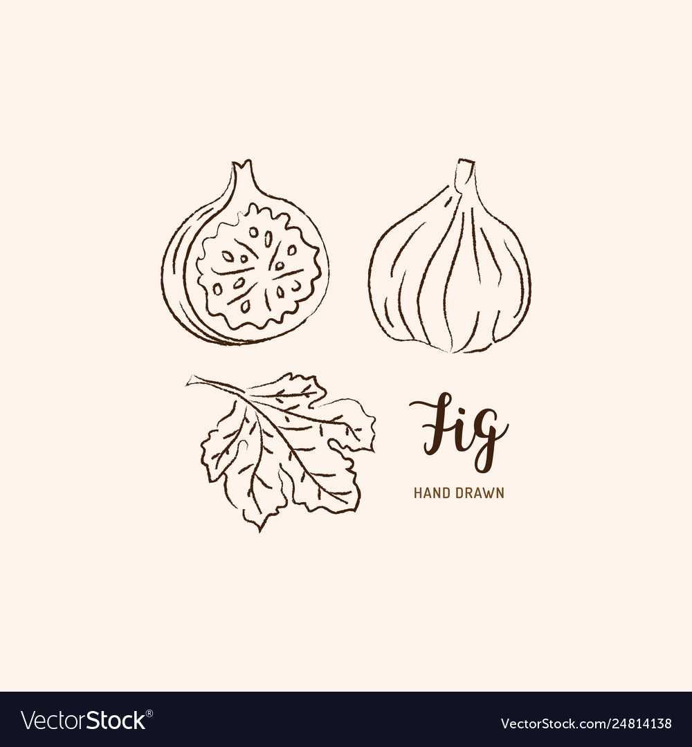 Fig fruit drawing sketch figs on a white