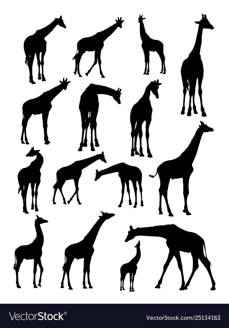 Giraffes animal detail silhouette