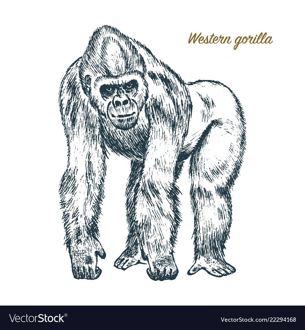 Western or mountain gorilla big monkey or primate