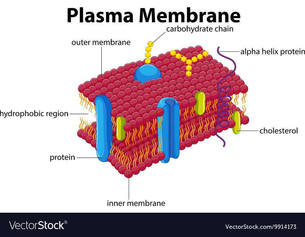 diagram with plasma membrane royalty free vector image rh vectorstock com diagram of a brainstem diagram of a brain aneurysm