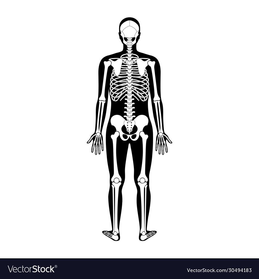 diagram of male skeleton human man skeleton anatomy royalty free vector image  skeleton anatomy royalty free vector image