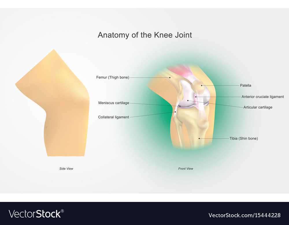 Anatomy Of The Knee Joint Royalty Free Vector Image