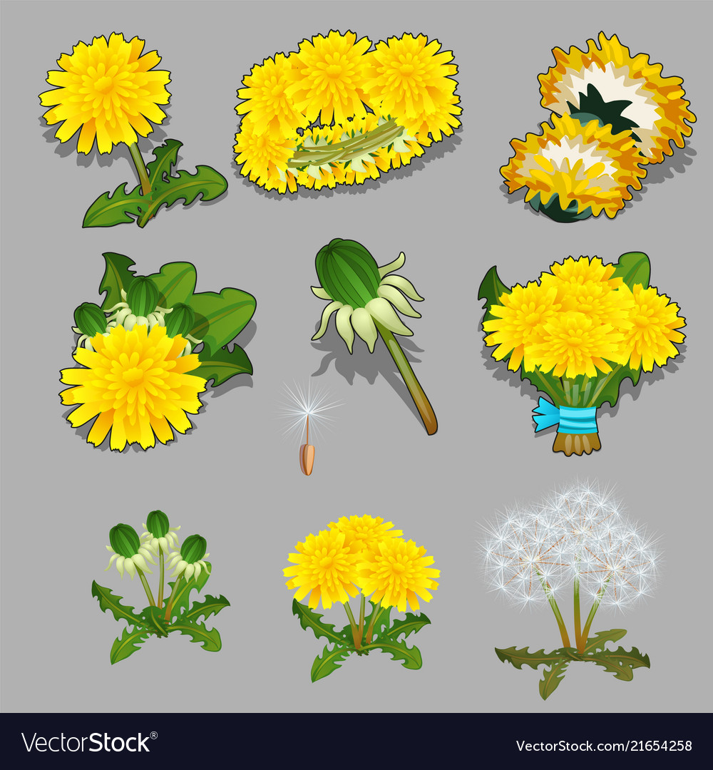 Set of stages of life of a a dandelion flower