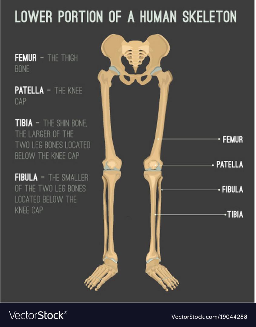 Human Leg Bones Royalty Free Vector Image Vectorstock