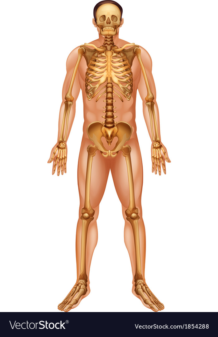 Human skeletal system Royalty Free Vector Image