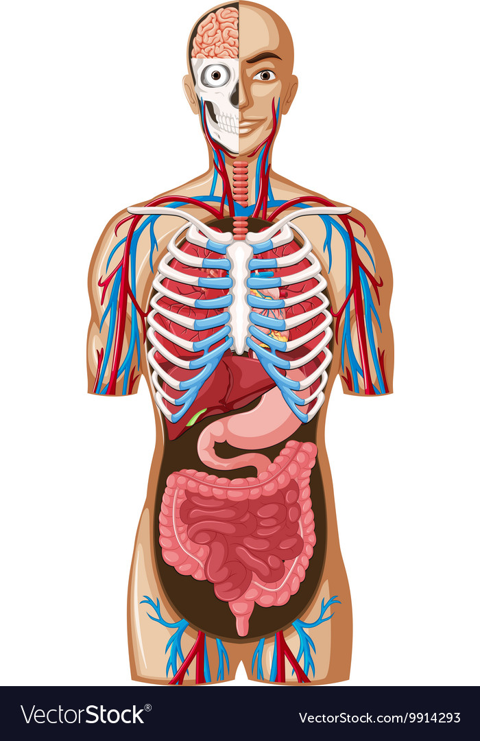 Human Anatomy With Different Systems Royalty Free Vector