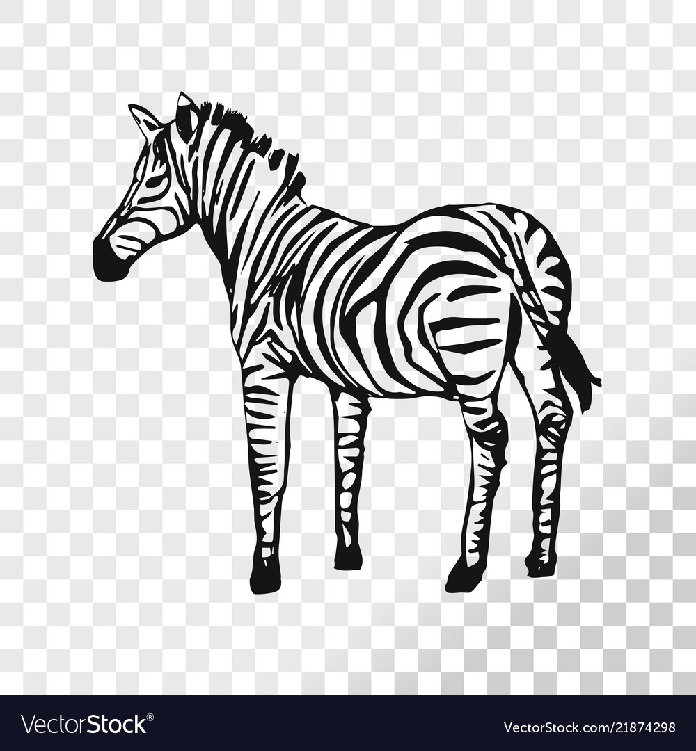3ea2ee9d7 Zebra sketch isolated on transparent background Vector Image