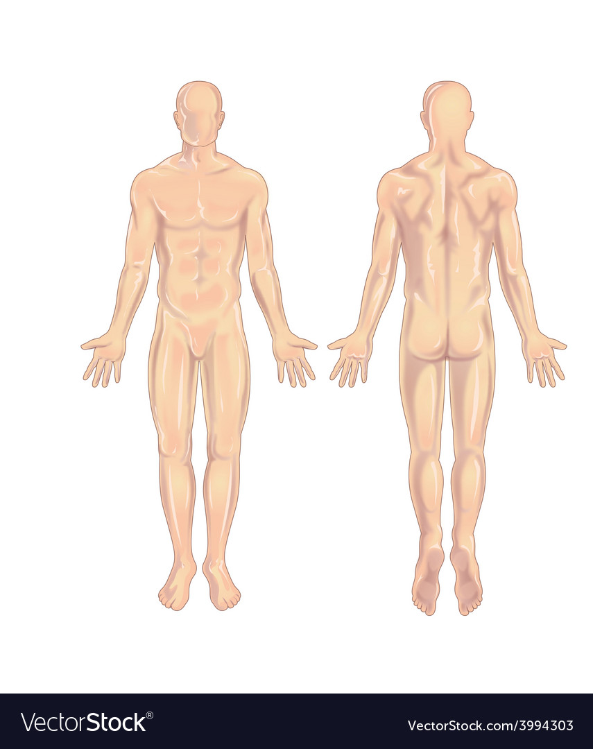 Male body Anterior-Posterior Royalty Free Vector Image