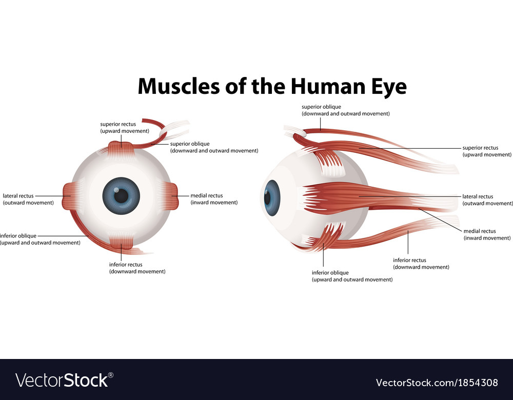 Muscles Of The Human Eye Royalty Free Vector Image