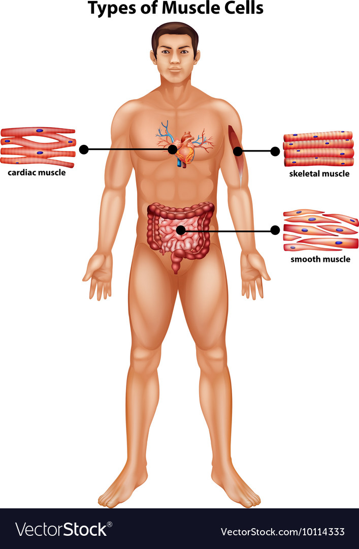 Diagram Showing Types Of Muscle Cells Royalty Free Vector