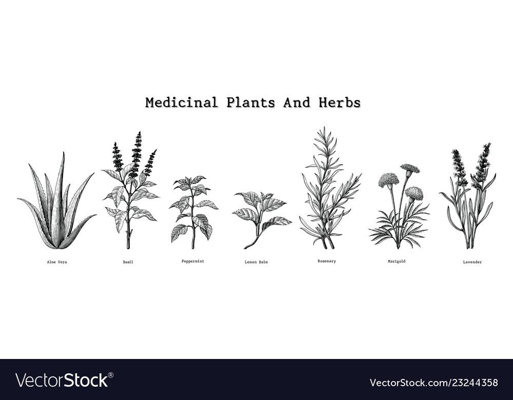 Medicinal plants and herbs hand drawing vintage