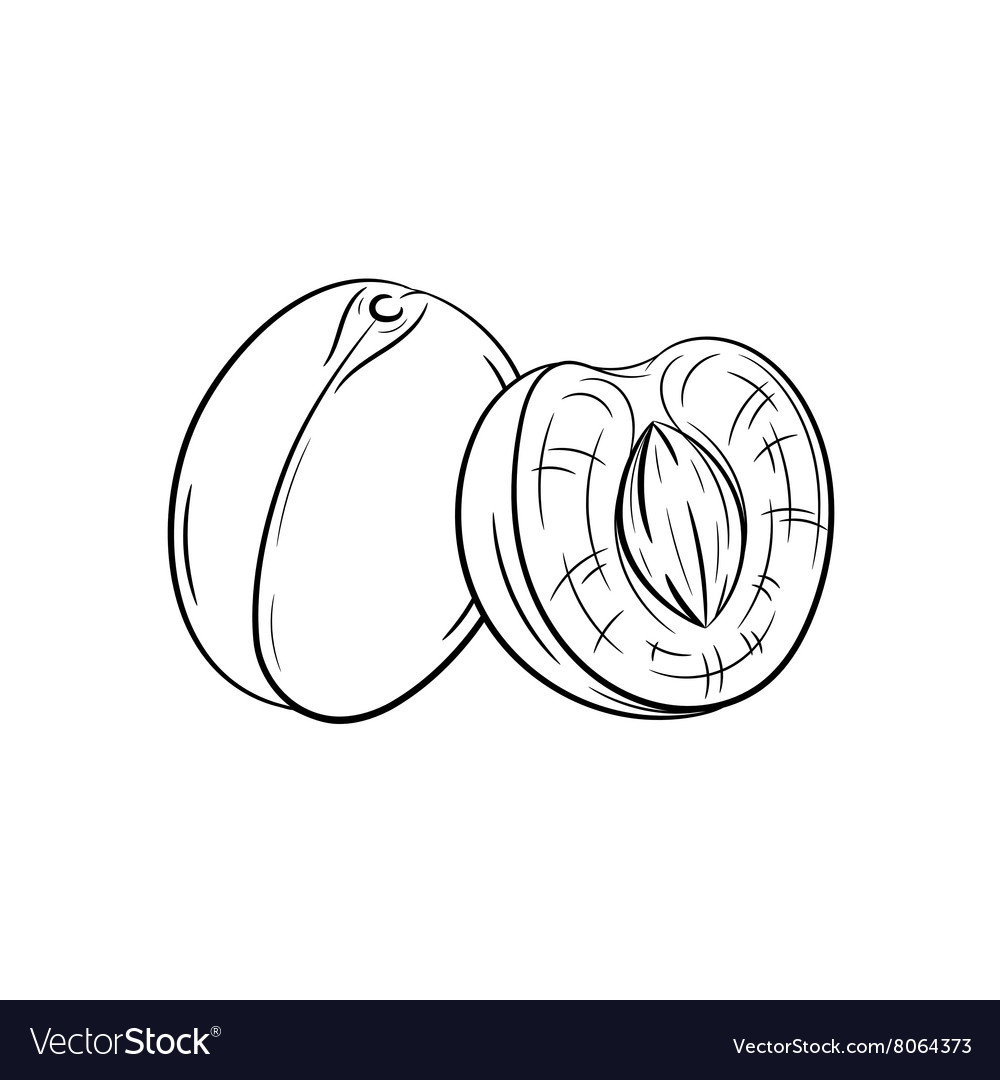 Hand drawn apricot sketches vector image