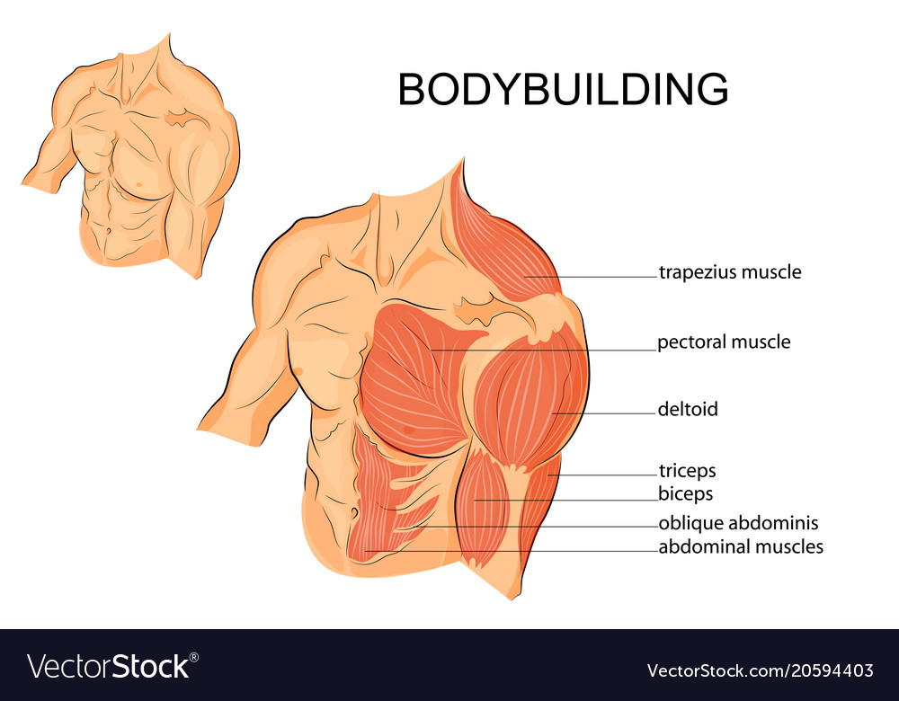 Male Body Arms Shoulders Chest And Abs Royalty Free Vector