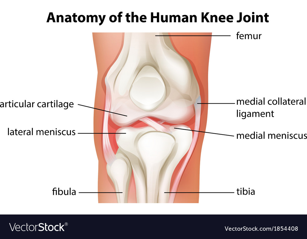 Human Knee Joint Anatomy Royalty Free Vector Image