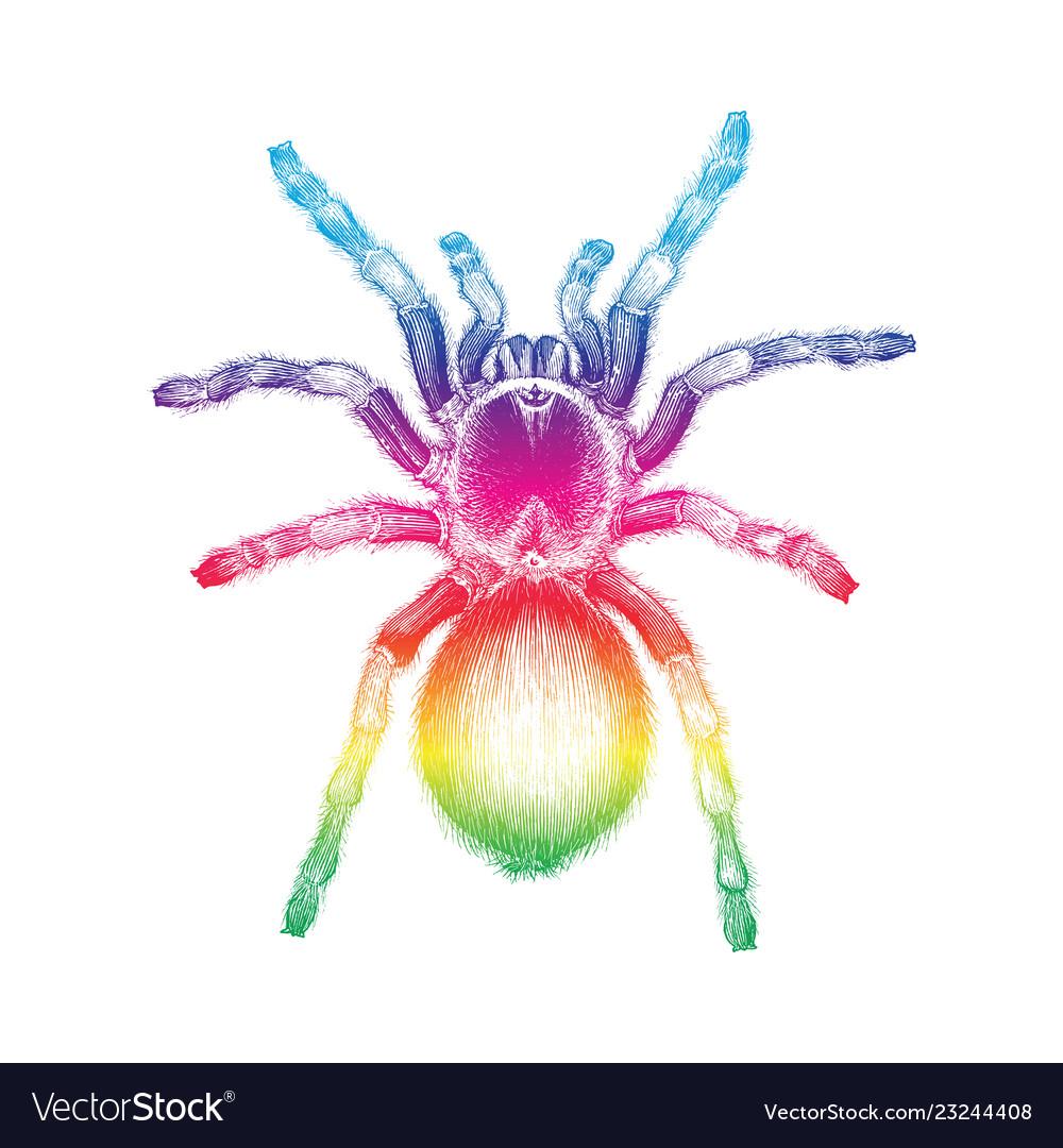 Tarantula Spider Hand Drawing Vintage Engraving