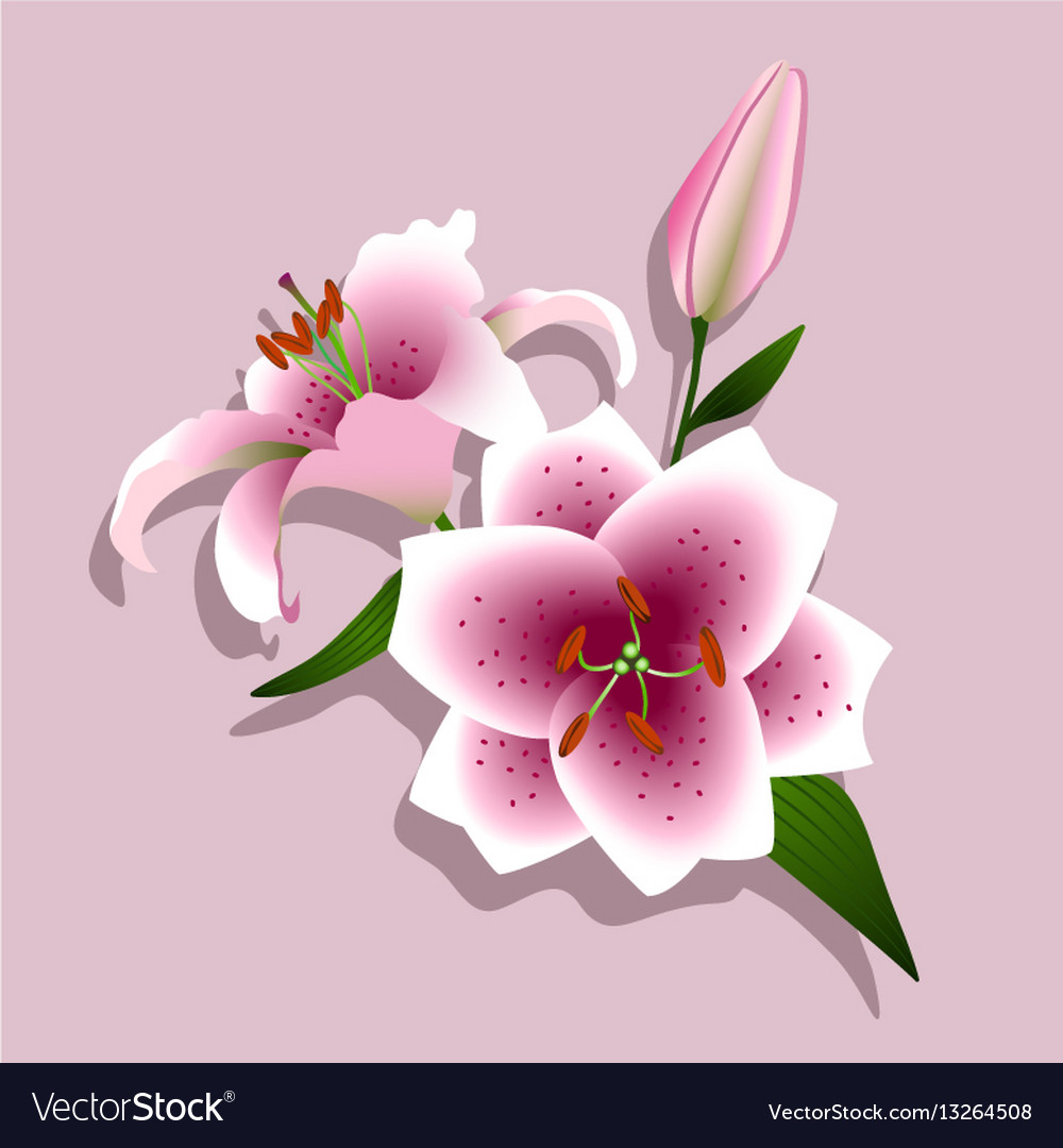 Pink Lilies On A White Background Royalty Free Vector Image