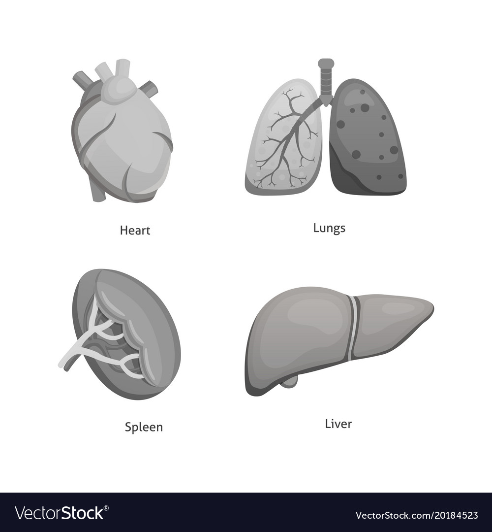 Cartoon Human Organs Set Anatomy Of Body Vector Image Torso Diagram