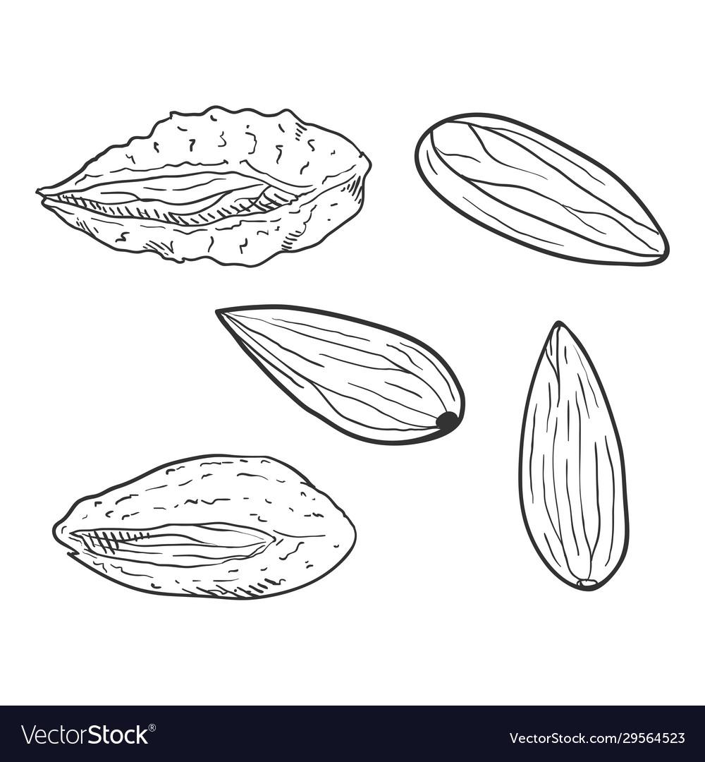 Set sketch almond nuts