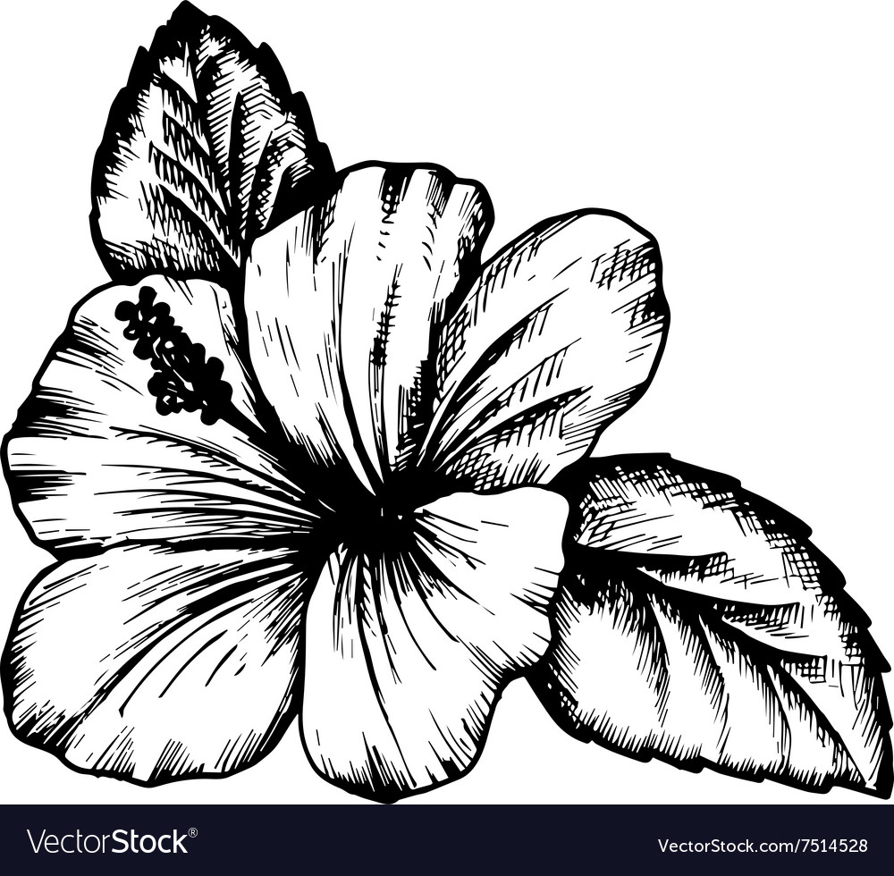 Hibiscus flower royalty free vector image vectorstock hibiscus flower vector image izmirmasajfo